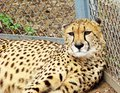 Cheetah lying on a grass Royalty Free Stock Images