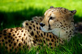 Cheetah lying in grass Royalty Free Stock Photos