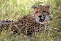 Cheetah lying in the grass Stock Image