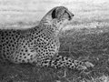 Cheetah lying in the grass and looking into distance black and white image majesty and grace autumn national lion park Stock Photos