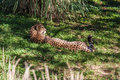 Cheetah Lying on Grassy Slope Royalty Free Stock Images