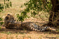 Cheetah a lying in the shade Royalty Free Stock Photo
