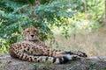 Cheetah lying in the shade on a warm summer day schönbrunn palace zoo vienna austria Royalty Free Stock Photo