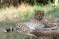 Cheetah lying in the shade on a warm summer day schönbrunn palace zoo vienna austria Stock Image