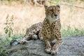 Cheetah lying in the shade on a warm summer day schönbrunn palace zoo vienna austria Stock Photos