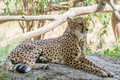 Cheetah lying in the shade on a warm summer day schönbrunn palace zoo vienna austria Royalty Free Stock Photography
