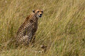 Cheetah in the Maasai Mara Royalty Free Stock Photography