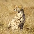 Cheetah Masai mara Kenya Stock Images
