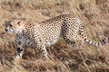 Cheetah masai mara reserve kenya africa in the in Stock Images