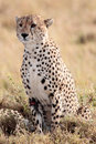Cheetah masai mara reserve kenya africa n the in Royalty Free Stock Photo
