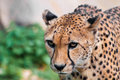Cheetah with menace in its eyes portrait of a crouching intense look Royalty Free Stock Images