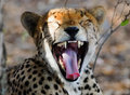 Cheetah in Mid Yawn Royalty Free Stock Photo