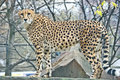 Cheetah most rapid animal on earth family of cat like moscow zoo Royalty Free Stock Image