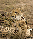 Cheetah mother and cub Stock Photo