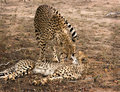 Cheetah mother and cub Royalty Free Stock Photography