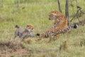 Cheetah Mother & Cub Fighting, Masai Mara, Kenya Royalty Free Stock Photo