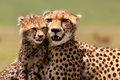 Cheetah Mother with cub, Masai Mara Royalty Free Stock Photo