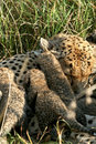 Cheetah mother with cubs Royalty Free Stock Photo