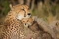 Cheetah Mother Royalty Free Stock Photo