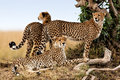 Cheetah mother and two young ones, Masai Mara Royalty Free Stock Photo
