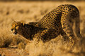 Cheetah in Namibia Africa Royalty Free Stock Image