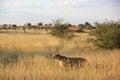 Cheetah, Namibia Royalty Free Stock Photo
