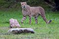 Cheetah natura viva park verona italy Royalty Free Stock Image