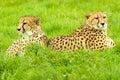 Cheetah pair relaxing at longleat Stock Photo