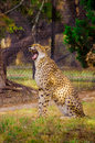 A cheetah is playing in fossil rim wildlife center near glen rose texas usa Stock Photography