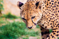 Cheetah portrait of a beautiful crouching Royalty Free Stock Photography