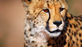 Cheetah portrait kalahari desert south africa Royalty Free Stock Photos
