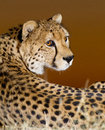 Cheetah Portrait, South Africa Stock Images