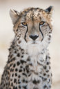 Cheetah Portrait South Africa Royalty Free Stock Photo