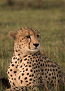Cheetah posing Stock Images