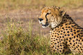 Cheetah potrait Royalty Free Stock Photo