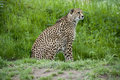 Cheetah on the Prowl Royalty Free Stock Photo