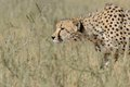 Cheetah prowling just before running for the hunt portrait of on in kalahari desert in south africa image Stock Image
