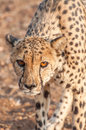 Cheetah prowling an up close view of a in a brown dusty landscape the concentration in the eyes shows clearly Stock Photos
