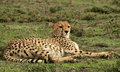 Cheetah reclining resting on the savannah in serengeti national park Royalty Free Stock Images