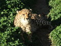 Cheetah resting Stock Photography