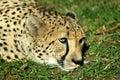 Cheetah resting Arkivfoton