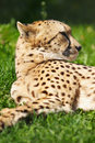 Cheetah resting on the grass Royalty Free Stock Photo