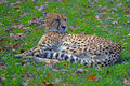 Cheetah a resting in the grass Stock Images
