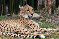 Cheetah resting in the shade of the trees s are endangered most africa and world due to loss habitat Stock Image