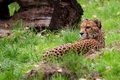 Cheetah resting in the wild Royalty Free Stock Photo