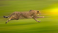 Gepard běžet