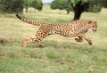 Cheetah running Royalty Free Stock Photo