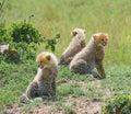Cheetah's cubs Royalty Free Stock Photo