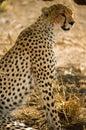 Cheetah in the shade Royalty Free Stock Photo
