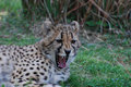 A Cheetah with Sharp Teeth Sunning Royalty Free Stock Photo